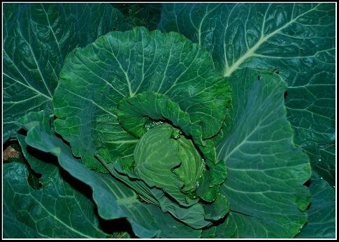 Cabbage.05.27.10.jpg