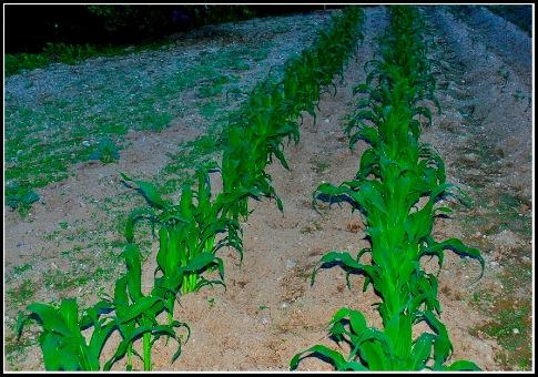 Corn.05.27.10.jpg