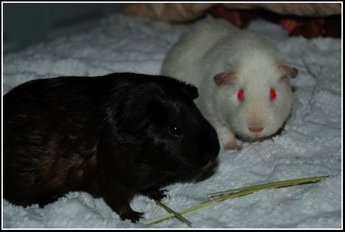 Guinea-Pigs_1_05.28.10.jpg