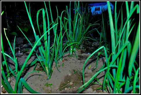 Onions.05.27.10.jpg