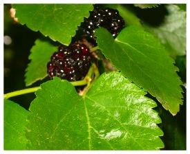 mulberry.05.31.10.jpg