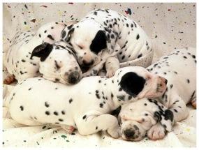 Dalmatian puppies sleeping