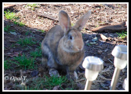 Rabbit 12 25 11 1