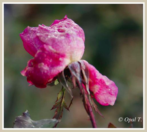 Rose 1 12 14 11