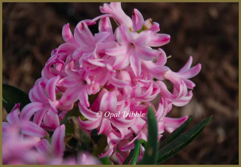 Flower Pink Hyacinth 1 03 23 12