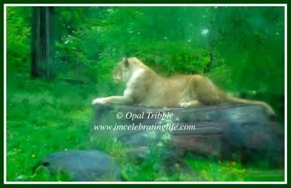 Baltimore Zoo Lion