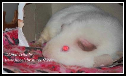 Guinea Pig Angel