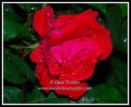 Rose 1 05 03 12