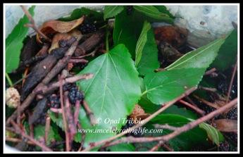 Mulberry debris