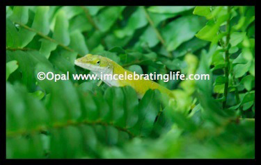 Green anole Lizard 1