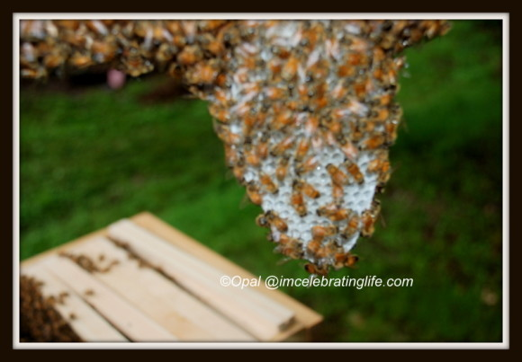 1st Warre hive inspection-honeycomb