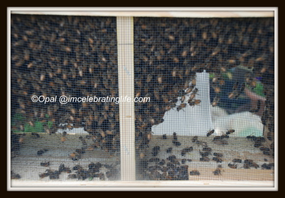 Honeybees - Package Bees_1