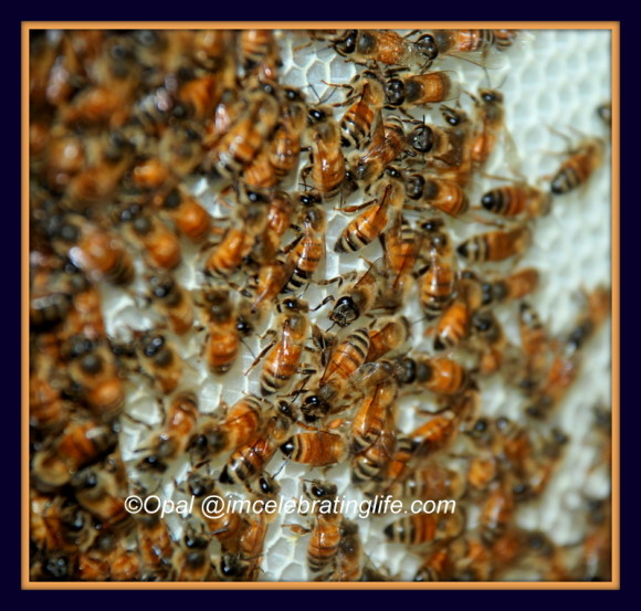 Honeybees. Hive inspection.6.12.13_1