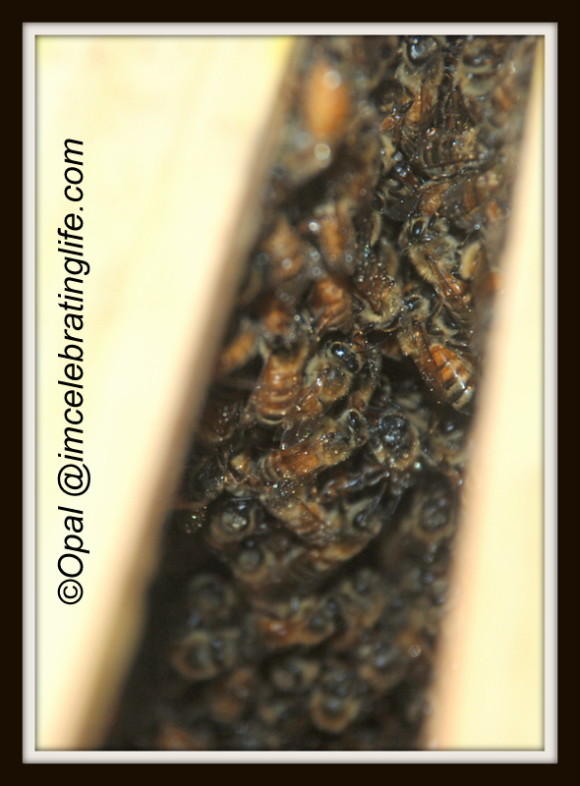 Honeybees. Hive inspection.6.12.13_2