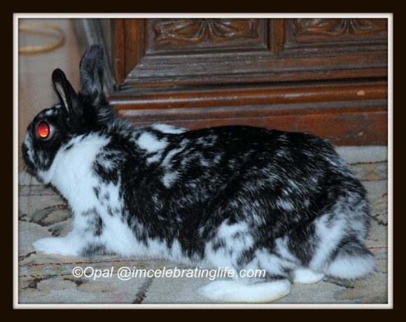 Dwarf Bunny Freya_1