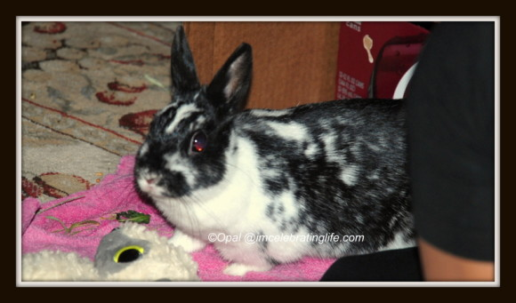 Dwarf Bunny Freya_2