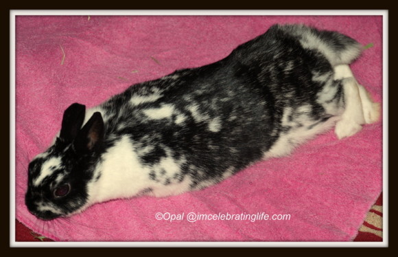 Dwarf Bunny Freya_3