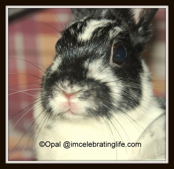 Netherland Dwarf Rabbit - Oreo_1