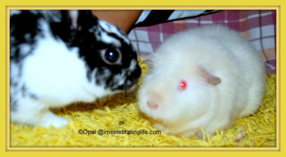 Rabbit & Guinea Pig. Oreo and Angel_1