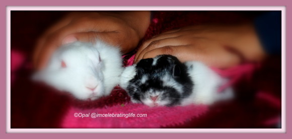 Female rabbit bonding - Gracie & Oreo_1