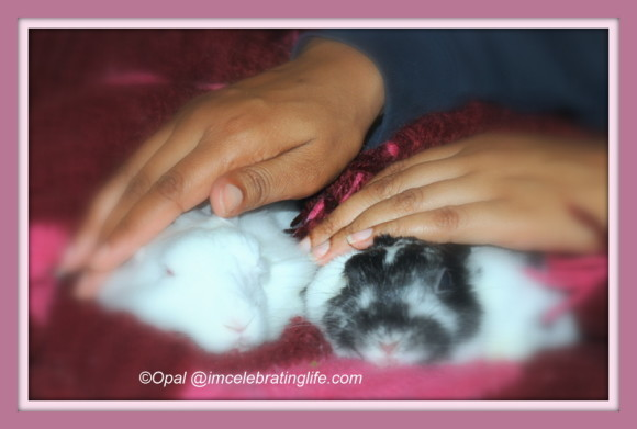 Female rabbit bonding - Gracie & Oreo_2