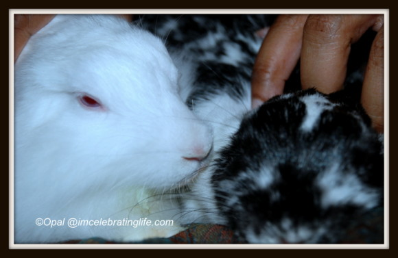 Female rabbit bonding_2