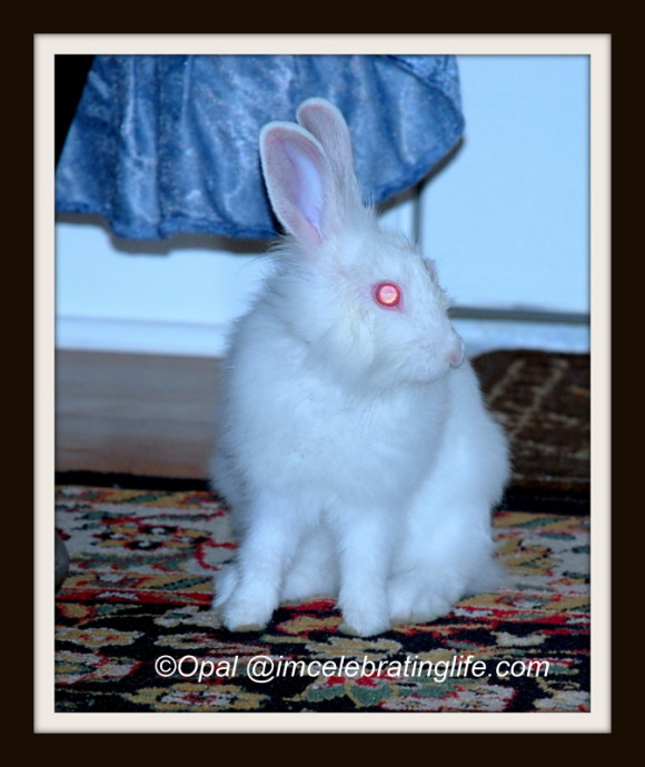Lionhead rabbit-Checking me out_1
