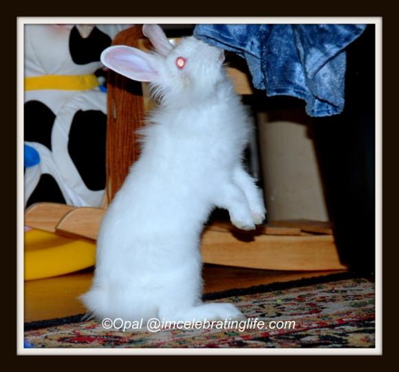 Lionhead rabbit-Checking me out_2
