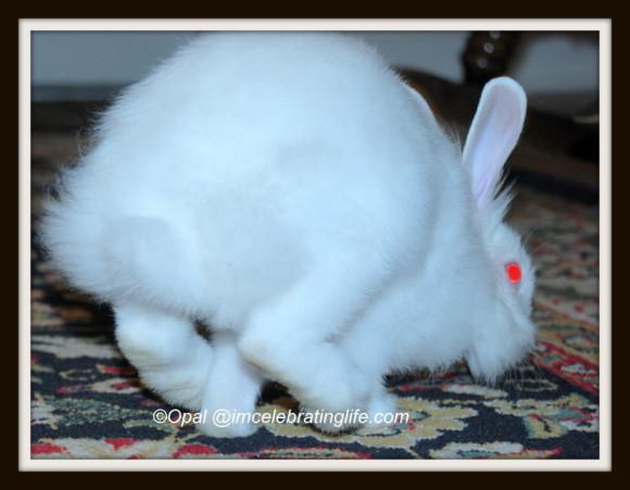 Lionhead rabbit-Checking me out_4