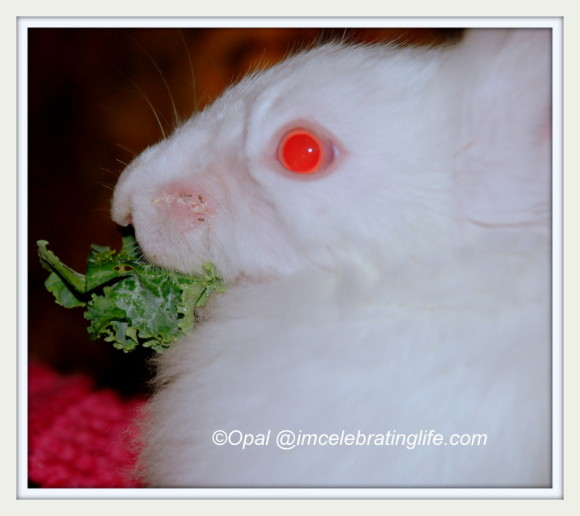 Lionhead rabbit Gracie eating kale_2