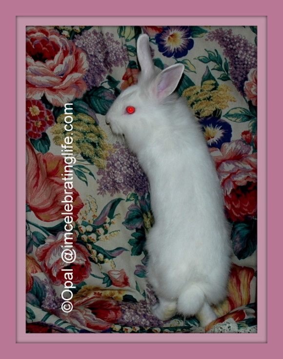 Lionhead rabbit My daughter wGracie_3