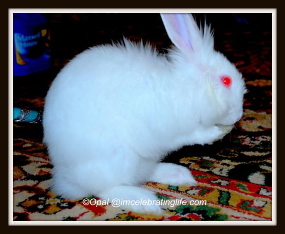 Lionhead rabbit-grooming_1