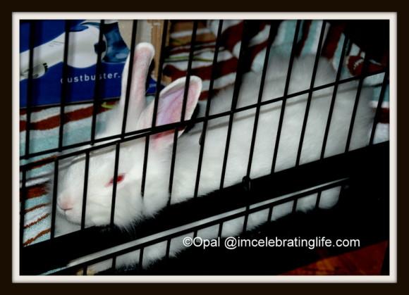 Lionhead rabbit resting_2