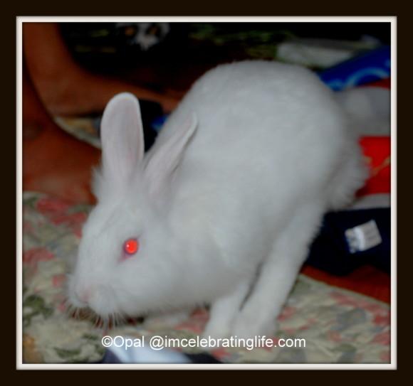 Lionhead rabbit_Curious Gracie_2