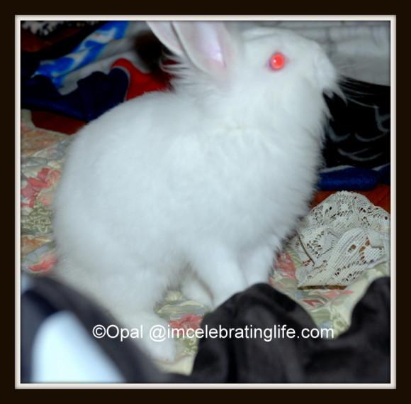 Lionhead rabbit_Curious Gracie_3