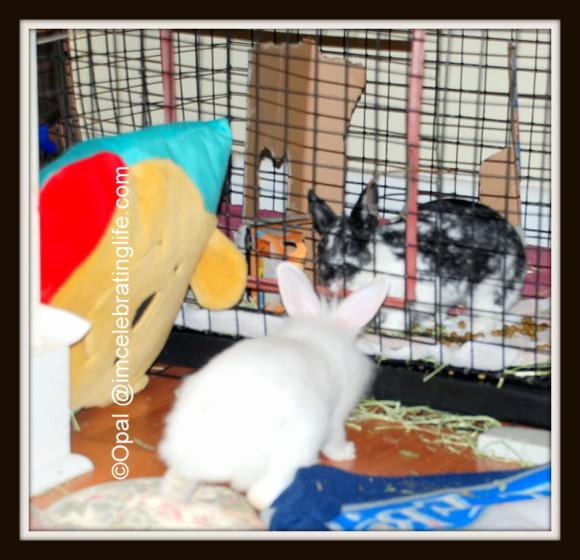 Lionhead rabbit_Oreo & Gracie_2