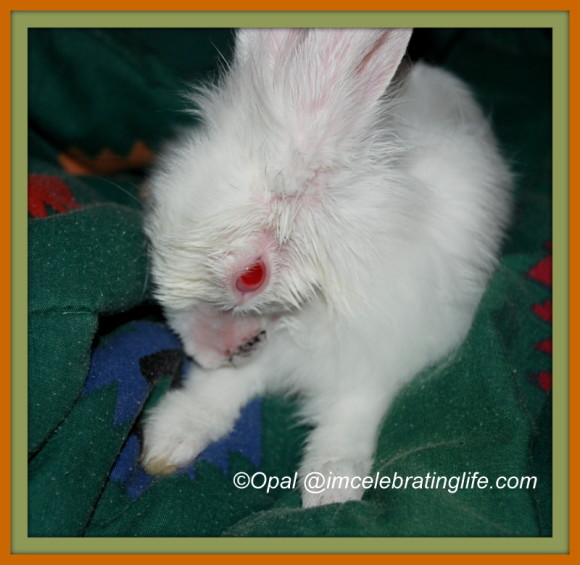 Lionheadd rabbit - laceration surgery_1