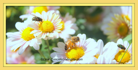 Honeybee on Daisy.10.18.13