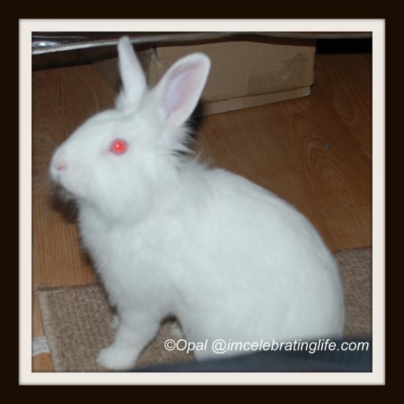 Gracie lionhead rabbit_2.1.2.14