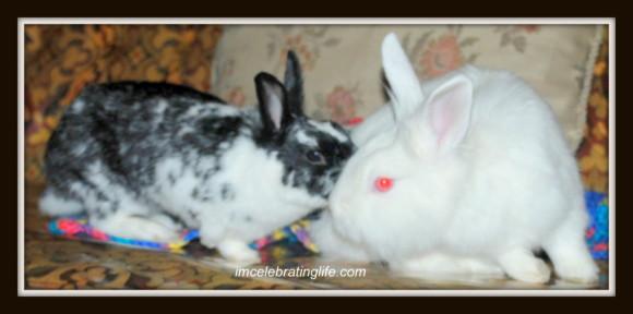 Rabbits-Oreo Gracie_1.3.1.14