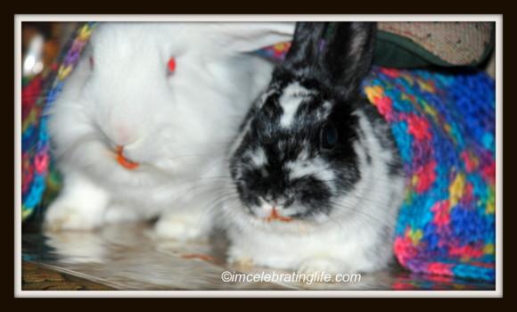 Rabbits-Oreo Gracie_2.3.1.14