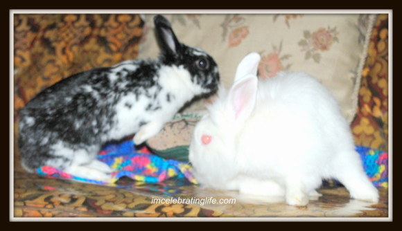 Rabbits-Oreo Gracie_3.3.1.14