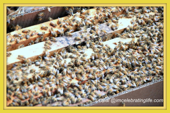 Honeybees 5 frame nuc 3