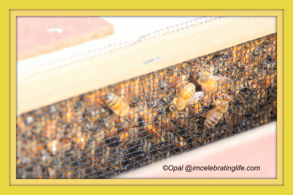 Honeybees - closer look.04.29.14