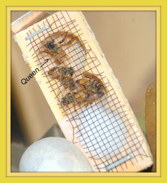 Package honeybees Queen 5.10.14