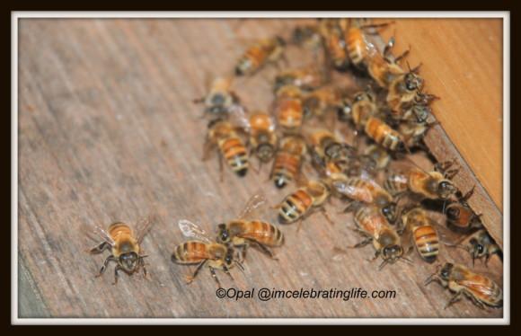 Honeybees 2 06.27.14 1