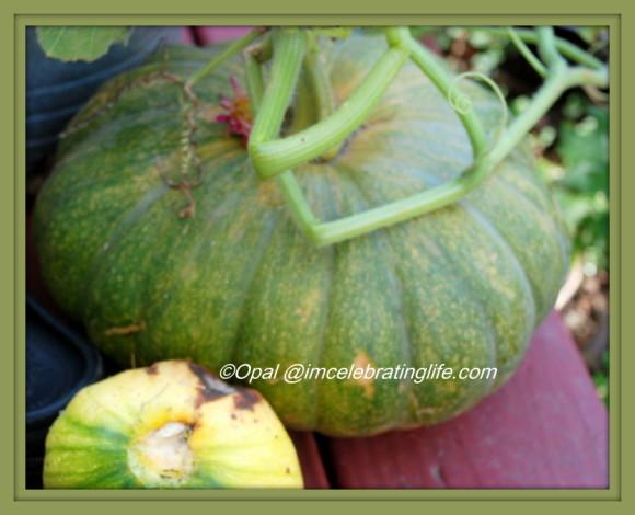 Gardening. Pumpkin. 10.21.15