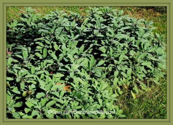 Gardening. Sage. 10.21.15
