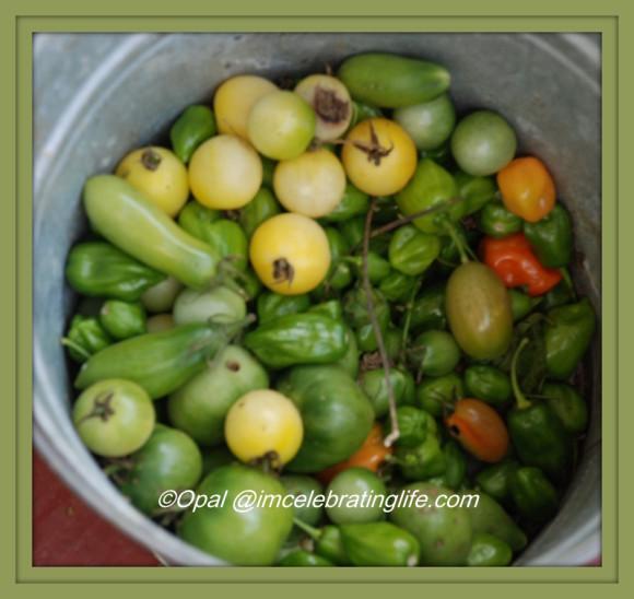 Gardening. Tomatoes. 10.21.15